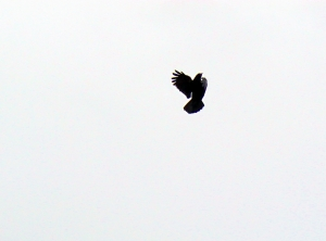 Crow Ballet _ IMG_3252