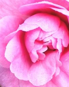 camellia-img_5414