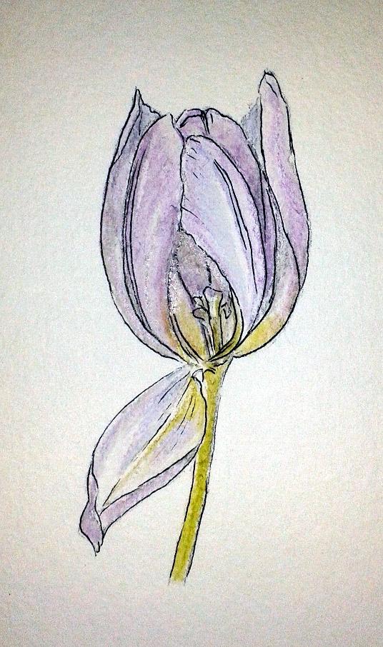 Tulip 2sc