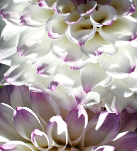 dahlia-white-cr-pi-img_5248