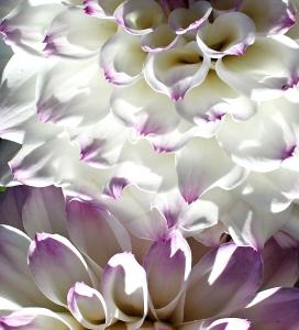 dahlia-white-cr-pi-img_5248