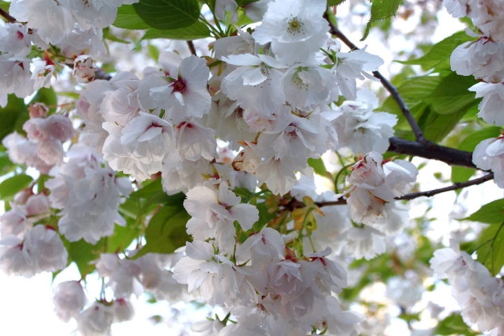 apple-blossoms_1670