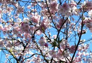 cherry-blossoms-sky-cr-img_5624