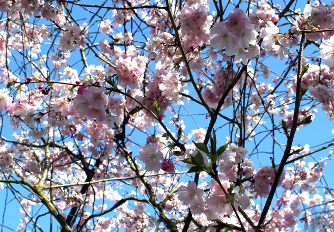 cherry-blossoms-sky-cr-img_5624